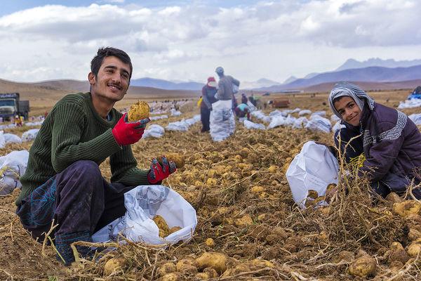 برداشت سیبزمینی از مزارع استان چهارمحالوبختیاری