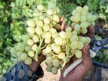 ۴۵۰۰ تن انگور در ابرکوه برداشت شد