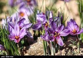 ایلام پتانسیل تولید مرغوب ترین زعفران کشور را دارد