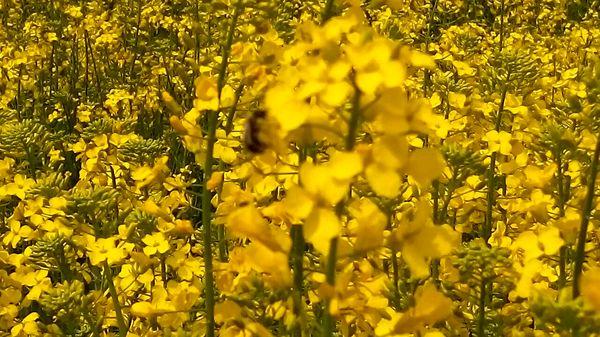 برداشت بیش از 900 تن دانه روغنی کلزا در شهرستان ارزوئیه