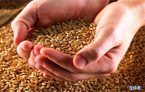 توزیع 10 تن بذر جو بین کشاورزان میاندورودی