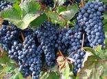 کردستان رتبه دوم کشوری در تولید انگور دیم