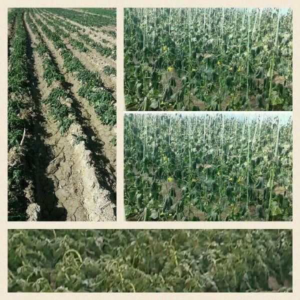 خسارت 43 میلیارد ریالی  به کشاورزی استان کرمان