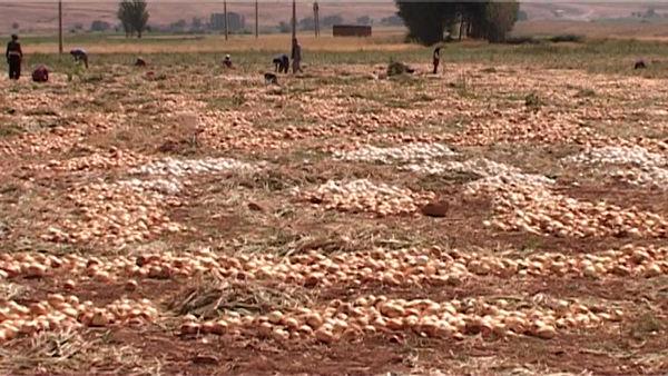 آغاز برداشت پیاز از مزارع شهرستان فریدونشهر