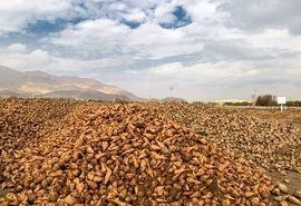 برداشت بیش از یک میلیون و 600 هزار تن چغندر قند از مزارع آذربایجان غربی