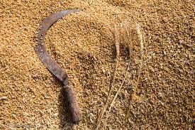 گندمکاران خراسان شمالی بیش از ۱۳۱ هزار تن گندم به دولت فروختند
