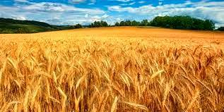 کشت ۱۹۲ هزار تن گندم و جو در خراسان شمالی طی پاییز امسال