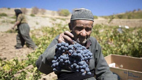 انگور دیم مریوان طلای سیاه کردستان