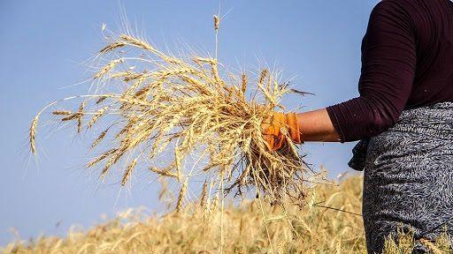 پیشبینی برداشت بیش از 35 هزار تن گندم در شهرستان کوثر اردبیل