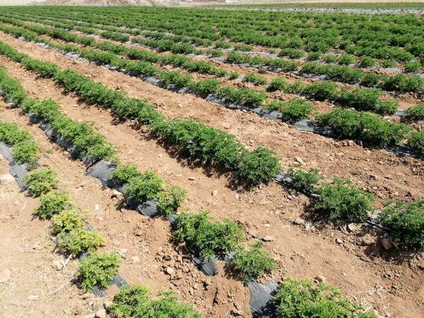 ۱۶۰۰ هکتار از اراضی در تصاحب گیاهان دارویی