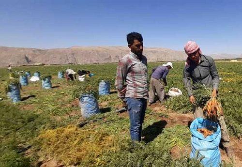 برداشت هویج از مزارع پاسارگاد ادامه دارد
