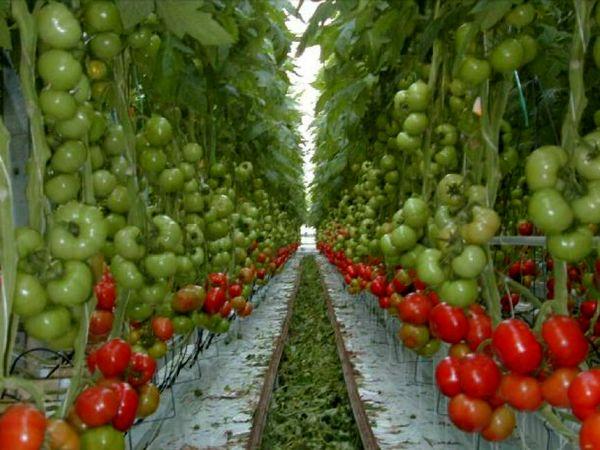 احداث بزرگترین گلخانه هیدروپونیک کشور در استان مرکزی