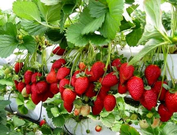 پیشبینی برداشت 50 هزار تن توت فرنگی از مزارع استان کردستان