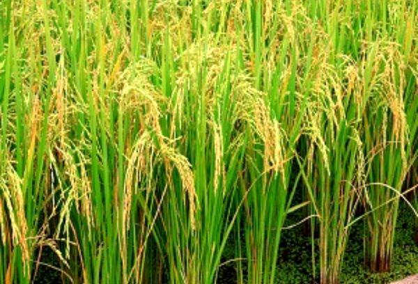 خرید 65 هزار تن شلتوک از کشاورزان