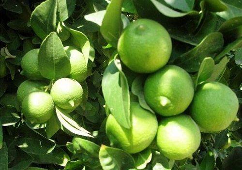 پیش بینی تولید بیش از 600 تن لیمو ترش در فسا