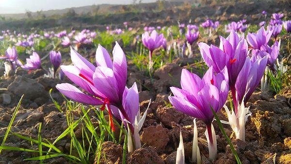 زعفران، تحفه جدید نطنز