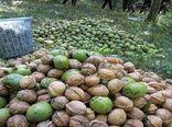 پیشبینی برداشت بیش از ۶۰۰ تن گردو در خراسان جنوبی