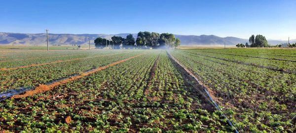 اقلید قطب تولید لوبیا در استان فارس