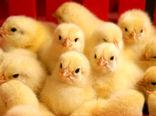 افزایش 20 درصدی جوجهریزی در مرغداریها