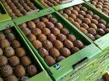 صدور گواهی صادرات 22 تن کیوی از ساری به ازبکستان