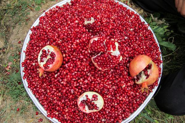 برداشت یاقوت سرخ در دشت سیاب کوهدشت