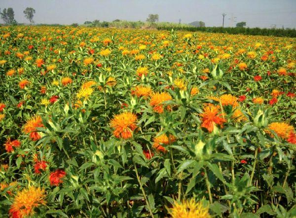 برداشت گلرنگ از مزارع بخش مرکزی شهرستان کرمان