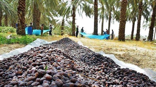 حمایت از نخلداران با خرید حمایتی خرما در خوزستان