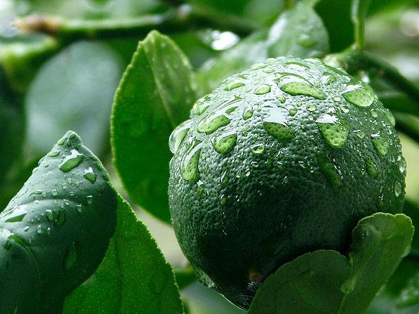 آغاز برداشت لیمو ترش در استان فارس