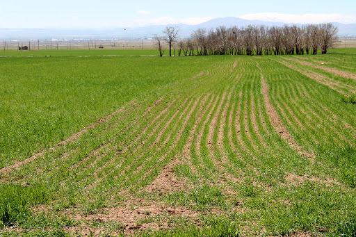 کاهش  تشنگی دیمزارها با بارندگی های  موثر هفته جاری در خراسان شمالی