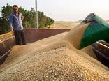 خریداری 80 هزار تن گندم در شهرستان دهلران