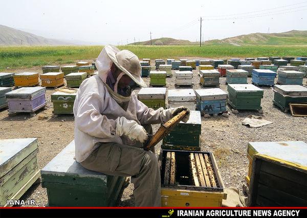 درآمد میلیاردی زنبورداران سیستان و بلوچستان