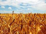 ذخیره بیش از ۴ میلیون تن گندم در انبارهای شرکت بازرگانی دولتی ایلام