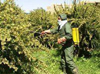 مبارزه با بیماری زنگ زرشک در سطح۱۲۵۰هکتار از اراضی خراسان جنوبی