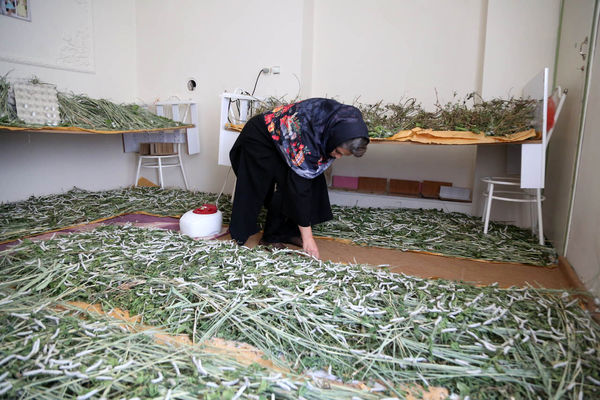 زنان روستایی پیلهها را پول میکنند