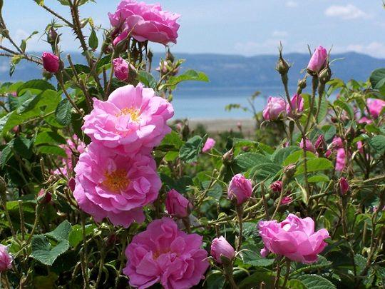 تولید بیش از ۳۲۰ تن گل محمدی در استان همدان