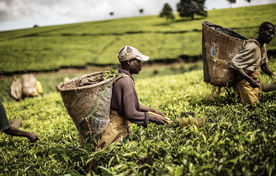 نفوذ غذایی غرب در آفریقا