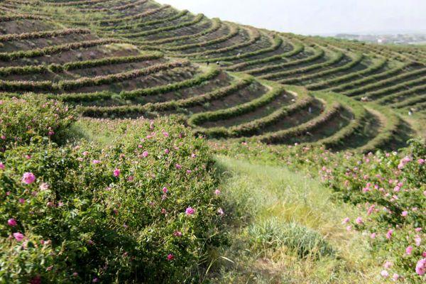 گلستانهای گل محمدی فرصتی برای توسعه گردشگری