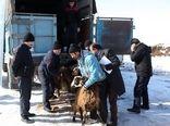 توزیع دام زنده رایگان در مناطق زلزله زده در شهرستان میانه آذربایجانشرقی