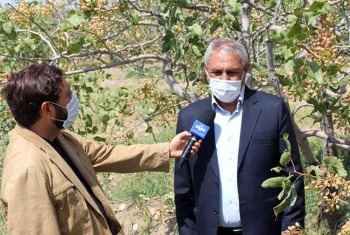 پیش بینی تولید 214 تن محصول پسته خشک در شهرستان مرند