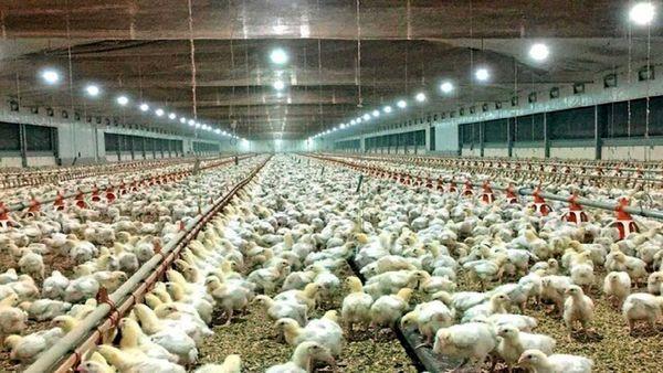 وضعیت توزیع گوشت مرغ در استان بوشهر بهبود مییابد
