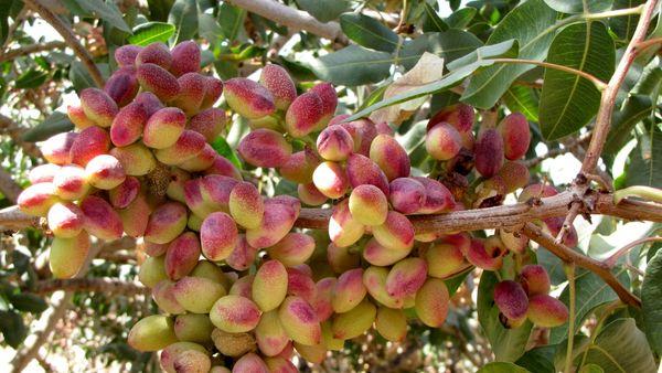 کشاورزان شهربابک 1000 اصله درخت پسته خود را جهت پرداخت زکات مستحبی اهدا کردند