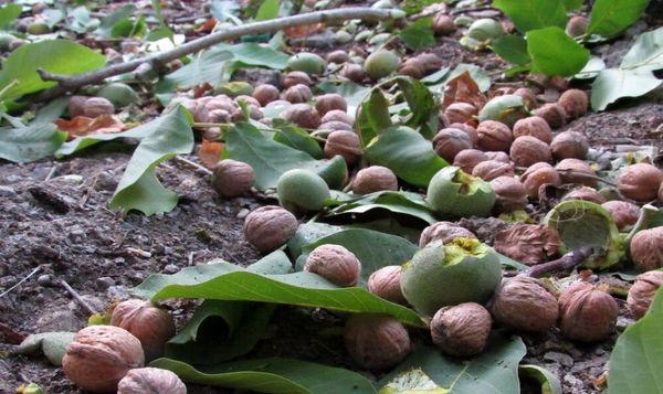 آغاز برداشت گردو از ۵۲۴ هکتار از باغهای بارور شهرستان کاشان