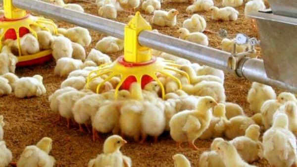 افزایش 9 درصدی جوجهریزی در مرغداریهای قزوین در سه ماهه نخست امسال