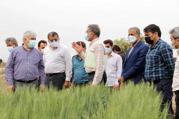 وضعیت مطلوب مزارع گندم، کلزا و چغندرقند در خوزستان