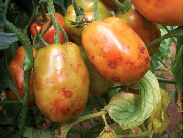 هشدار سازمان حفظ نباتات درباره بیماری چروکیدگی قهوهای گوجهفرنگی
