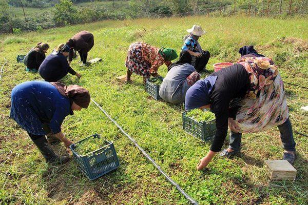 برداشت گیاهان دارویی و خوراکی از مراتع ممنوع شد