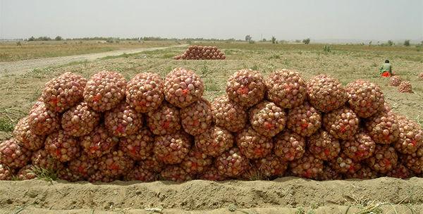 49 هزار تن پیاز در جنوب سیستان و بلوچستان برداشت شد
