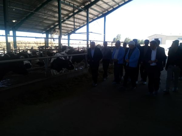 بازدید مدیران ارشد جهاد کشاورزی از گاوداری صنعتی 1000 راسی گاو شیری در شهرستان انار
