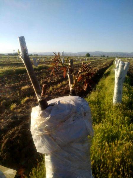اجرای طرح سرشاخه کاری در سطح 3و نیم هکتار از باغات گردو شهرستان آبیک