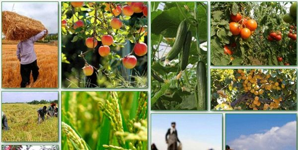 فعالیت 17 هزار بهرهبردار بخش کشاورزی در قروه/تولید 600 هزار تن محصولات کشاورزی